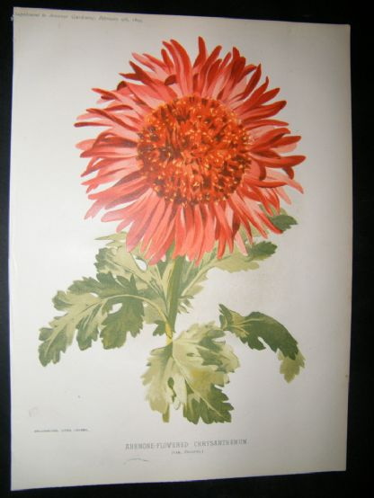 Amateur Gardening 1895 Botanical. Anemone-Flowered Chysanthemum | Albion Prints
